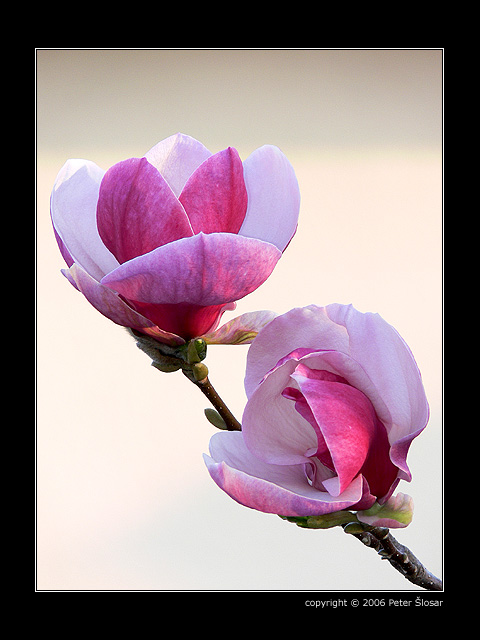 http://www.slosar.sk/foto/magnolia/magnolia-3.jpg
